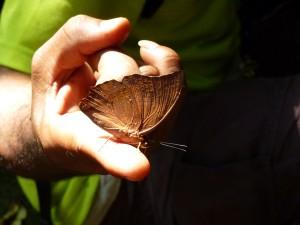 Tropischer Schmetterling auf Finger gelandet