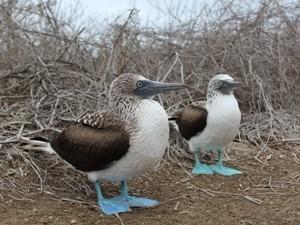 Blaufußtölpel auf Isla de la Plata in Ecuador