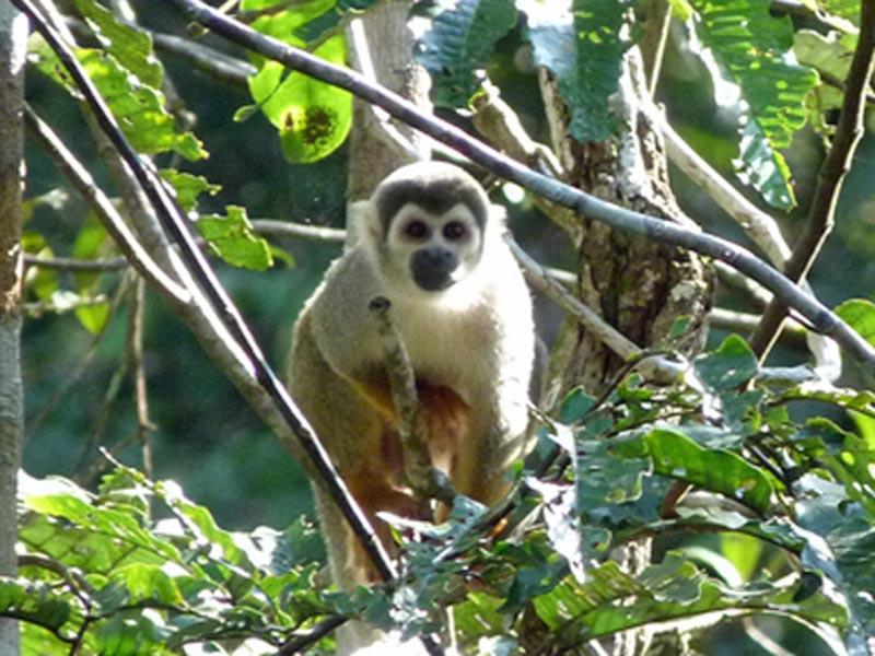 Affe in Cuyabeno