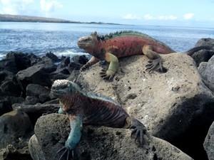 Galapagos-Kreuzfahrt-Echsen