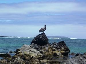 Pelikan auf den Galapagosinseln
