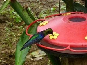 kolibri-im-nebelwald
