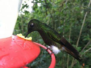 Kolibri am Zuckerwasserständer