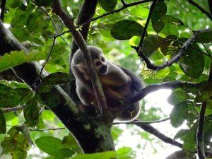 Affe auf Baum im Dschungel in Ecuador