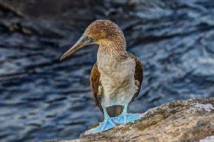 Blaufußtölpel auf einem Stein im Meer