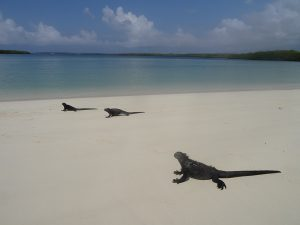 Marine Iguanas am Strand auf Galapagos