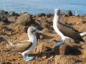 Blaufußtölpel auf den Galapagosinseln