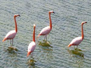 Rosa Flamingos im Wasser
