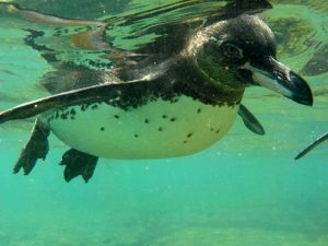 Galapagospinguin im Wasser vor den Galapagosinseln