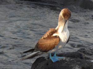 Galapagos Vogel auf Stein