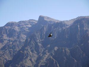Ein Kondor der im Colca Canyon fliegt