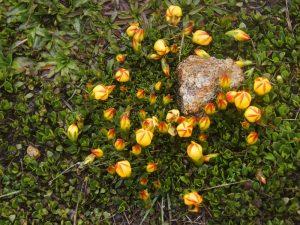 Gelb, rote Pflanzen im Cajas Nationalpark