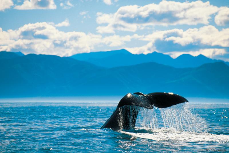 Südinsel Neuseelands-Kaikoura Wal