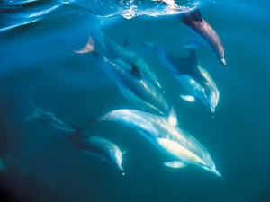 Neuseeland-bay-of-islands-bottle-nosed-dolphins