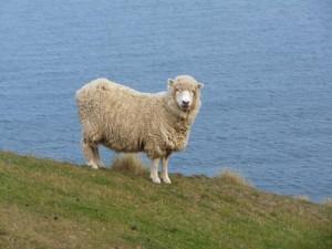 Neuseeland-Südinsel-catlins-schaf-meer