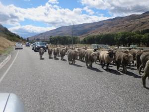 Neuseeland-Südinsel-catlins-schafe-strasse