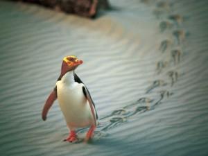 dunedin-yellow-eyed-pinguin © Penguin Place