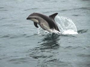 Delfin in der Bucht Akaroas