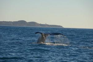 Ein einmaliger Anblick: Wale in Kaikoura