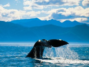 kaikoura-whale-tail © Chris McLennan