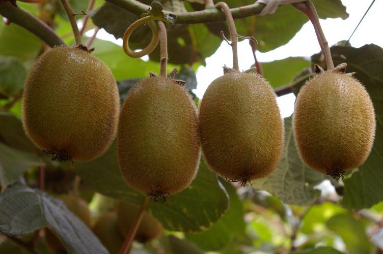 Kiwi-Frucht am Baum