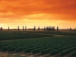 Sonnenuntergang über Weinreben