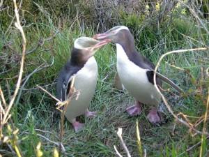 Neuseeland-otago-pinguine-gelb
