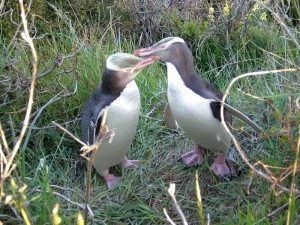 Pinguine in freier Wildbahn in Dunedin