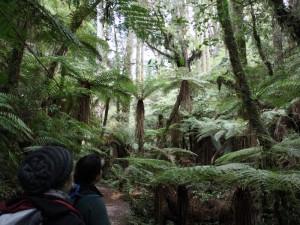 Wald voller Baumfarne bei Rotorua
