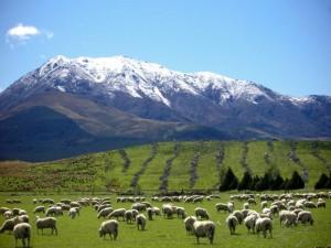 Schafsweide vor Bergpanorama auf der Südinsel