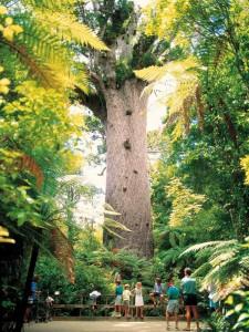 Kauri-Baum © Tourism New Zealand