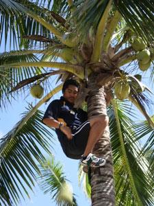 Mann pflückt Kokosnüsse im Baum