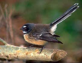 fantail vogel