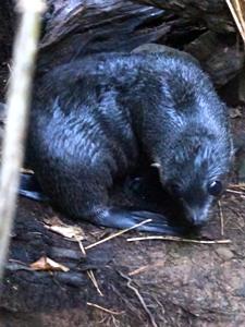 Ein süßes Robbenbaby am Ohau Wasserfall