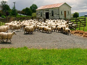 Schaffarm in den Catlins