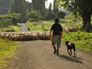 Schafe auf dem Weg - hier ist Geduld gefragt