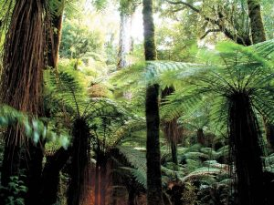 Farnwald im Waipoua Forest