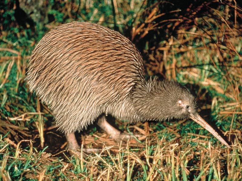 Warum nach Neuseeland reisen - Der legendäre Kiwi