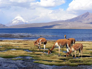 alpacas-colca-canyon