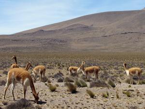 Altiplano Alpaka Peru Rundreise