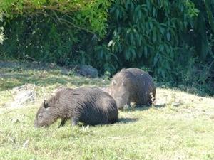 Capibara am Amazonas