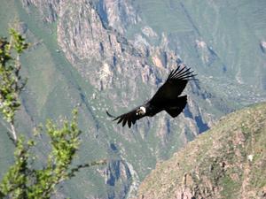 Kondor im Colca Canyon