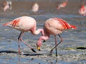 flamingos-uyuni