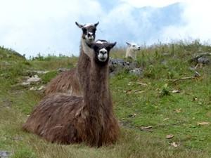 Lamas-auf-dem-weg-nach-huaraz