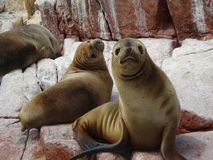 Seehunde Islas Ballestas Bootstour Peru