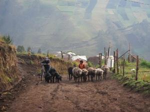 Junge treibt Schafherde einen Feldweg hinauf