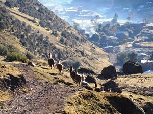 Lamas auf dem Trek