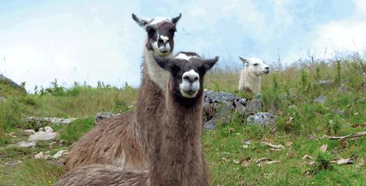 Lamas in Kuélap