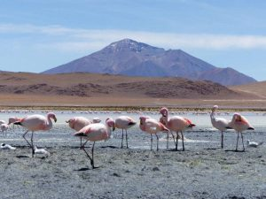 Flamingos in der Salar de Uyuni in Bolivien