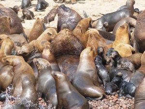 Seehunde in Paracas